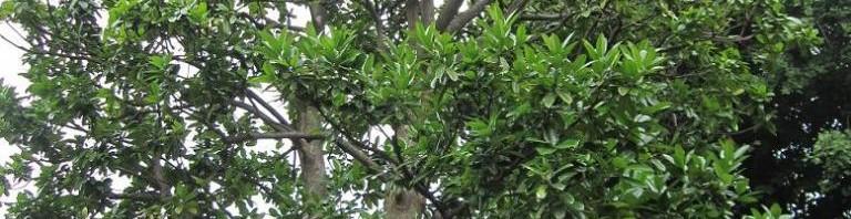 タラヨウの木